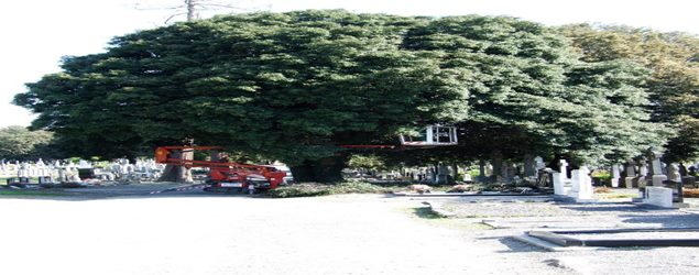 Abatis Dublin tree services offer Crown thinning, Crown Reduction, Crown lifting